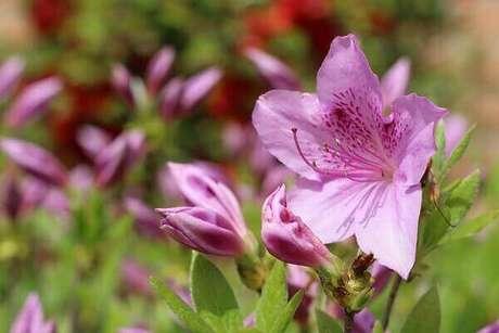 33- A azaléia é uma das plantas ornamentais mais comercializadas. Fonte: Pixabay