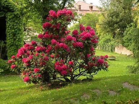 24- A planta azaleia vermelha dobrada é o destaque do jardim no inverno. Fonte: Planta Sonya