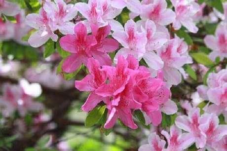 31- Vasos com flores de azaleias são utilizados na decoração de vários ambientes. Fonte: Giacomelli Blog