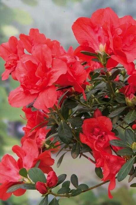 43- As folhas da planta azaleia tem tons verde escuros brilhantes. Fonte: Revista Natureza