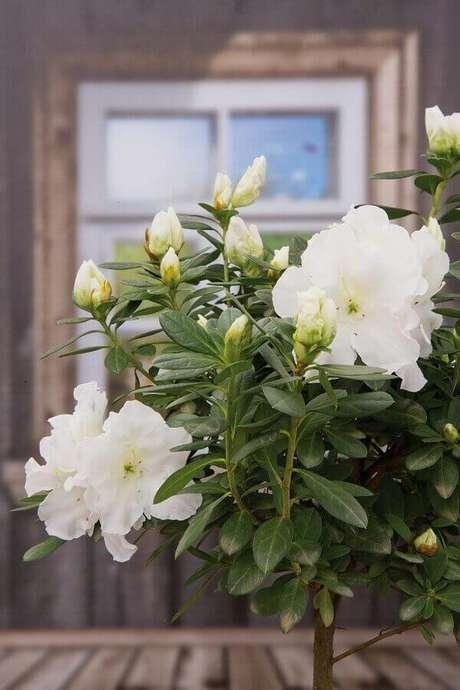19- A azaleia branca é ideal para decorar janelas de casas de madeira rústica. Fonte: Revista Natureza