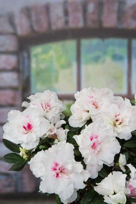 26- A azaleia é uma planta de fácil manejo e muito barata. Fonte: Pinterest