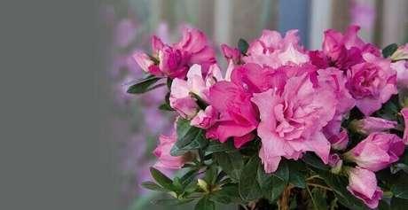 44- A grande aglomeração de flores favorece a proliferação de fungos na planta. Fonte: Revista Natureza