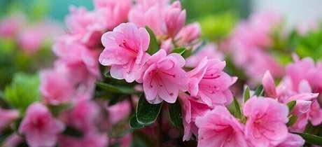 45- A adubação da azaleia pode ser feita com fertilizantes industrializados. Fonte: Pinterest