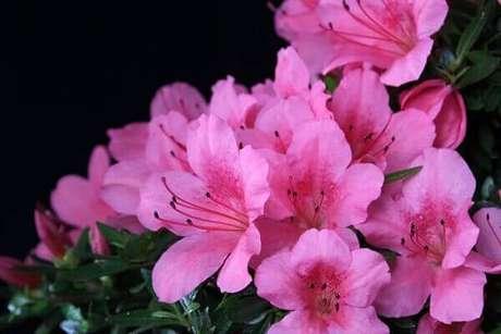 51- A azaleia é resistente em vários tipos de terrenos. Fonte: Flower Meaning