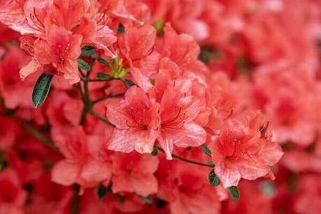 34- A azaleia vermelha tem um tom intenso e na decoração clean ganha grande destaque. Fonte: Pixabay