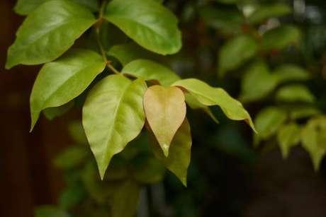Folhas de ora-pro-nóbis