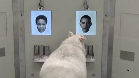 Uma ovelha participa de um experimento diante de rostos - incluindo uma foto do ex-presidente americano Barack Obama