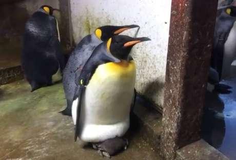Em um zoológico da Dinamarca, um casal gay de pinguins 'adotou' um filhote quando viu que seus pais estavam ausentes – o que gerou uma grande briga.