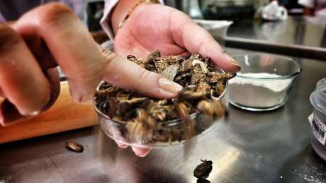 As baratas cinéreas, de origem africana e produzidas em laboratório, são próprias para consumo humano