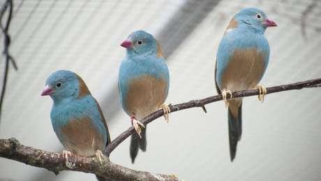Pesquisadores analisaram o comportamento do cordon-bleu-de-cabeça-azul