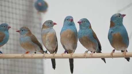 Para analisar o comportamento dos pássaros, os pesquisadores colocaram os casais em ambientes com e sem audiência