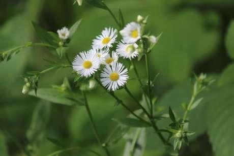 35. Flor do campo branca com botões amarelos. Foto de Seasons Flow