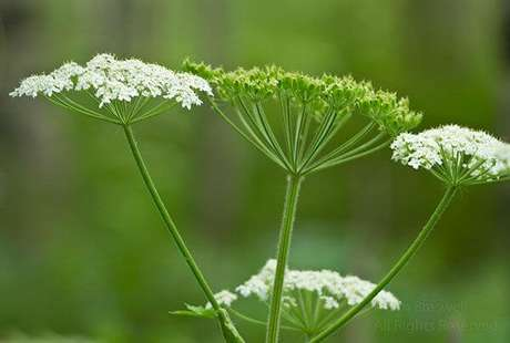 32. Flor do campo branca pequena. Foto de Pinterest
