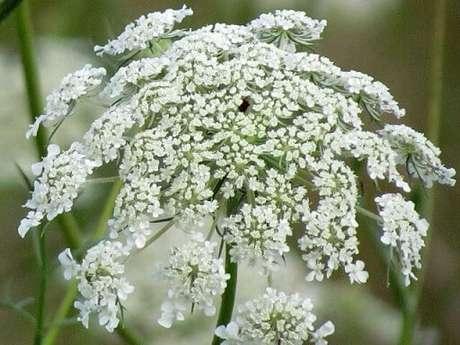 36. Flor do campo branca pequena. Foto de Seasons Flow