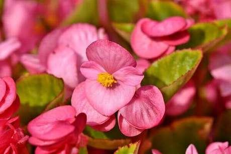 6- Os tipos de begônia cerosa possuem folhas espessas e aveludadas. Fonte: Pixabay