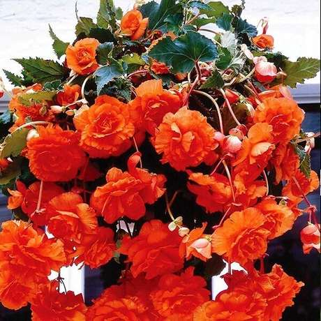 41 – As begônias são uma das plantas mais utilizadas pelos paisagistas e jardineiros. Fonte: Ohiogas.info