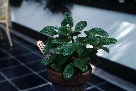 43- A begônia Ulmifolia atinge até 80cm e cresce em lugares úmidos. Fonte: Wikispecies