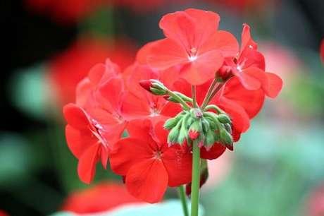 44- A begônia cerosa possui flores que variam do branco ao vermelho. Construindodecor