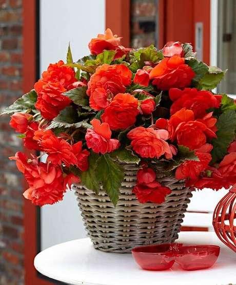 5- A begônia vermelha é muito valorizada pelos tons fortes das flores. Fonte: Arquidicas