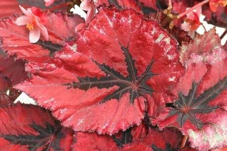 50- A begônia Rex possui folhas nas cores verde, vermelho, vinho e prata. Fonte: Construindodecor