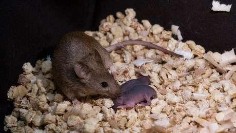 No caso de descendentes de ratos fêmeas, a prole toda nasceu saudável