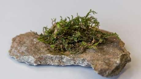Embora a planta não seja do gênero Cannabis, ela é considerada um canabinoide 'moderadamente potente, mas eficaz', diz pesquisa