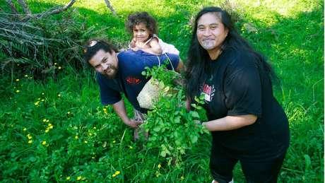 Na Nova Zelândia, a radula é usada historicamente como rongoã - a medicina tradicional maori, baseada nas propriedades de ervas