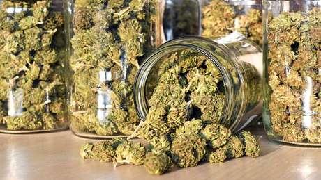 Cannabis: Pesquisador diz que provavelmente os efeitos recreativos da radula são menos fortes e vê nela mais aplicações medicinais