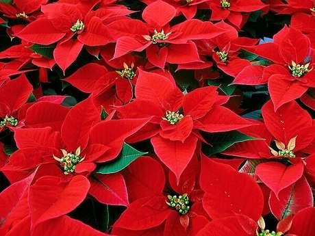 21- O vermelho da flor de natal é intenso e tem um grande apelo decorativo. Fonte: HM Jardins