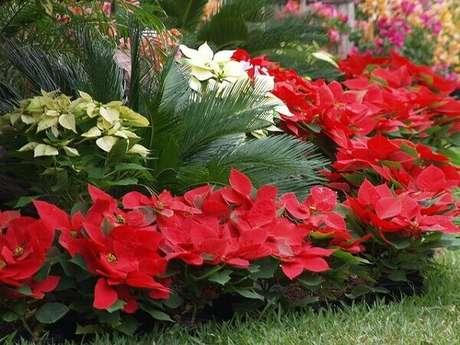 29- A flor de natal pode ser plantada no quintal em diversas cores. Fonte: O Meu Jardim