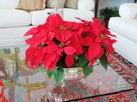 31- O cachepot de prata no centro da mesa tem arranjo com vários vasos de flor de natal. Fonte: Andrea Rudge