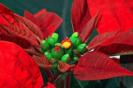 44- Detalhe do centro da flor estrela de natal. Fonte: Wikipedia