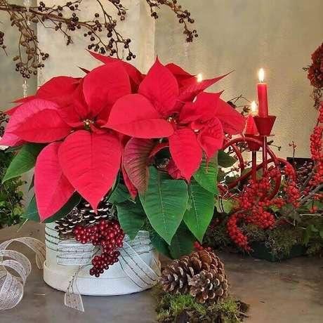 41- A flor de natal é uma planta com significado de vida longa. Fonte: Pinterest