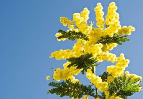 A acácia mimosa amarela não precisa do sol para saber que é hora de abrir ou fechar suas folhas
