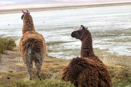 Lhamas descansam no deserto do Atacama, no Chile