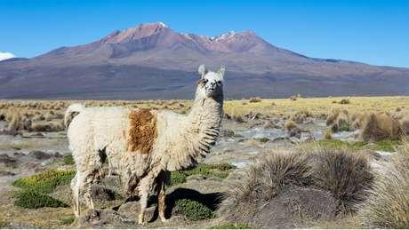 As lhamas são um dos quatro tipos de camelídeos sul-americanos.