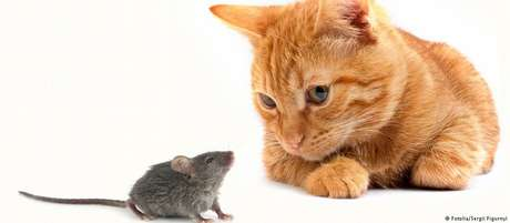 Rats infected with parasites that cause toxoplasmosis behave strangely.