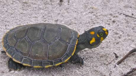 Conhecida como tartaruga-da-amazônia, a 'Podocnemis expansa' tem sobrevivido: 70 mil filhos nascem às margens do Rio Juruá