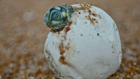 Estudo aponta cerca de 2.000 ninhos de tartaruga nas praias às margens do rio Juruá, na Amazônia