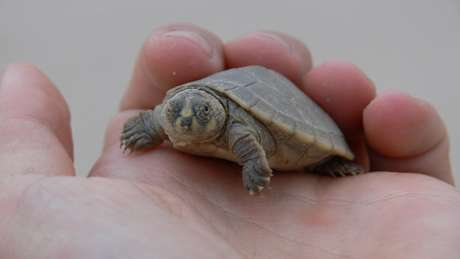 Tartarugas são alvo de caçadores, que depois vendem a carne e os ovos