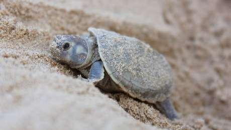 Os projetos de preservação são organizados por ONGs e pela autarquia federal Instituto Chico Mendes de Conservação da Biodiversidade