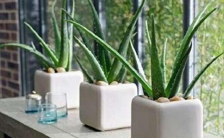 15- A babosa é uma das plantas para dentro de casa que tem um grande apelo ornamental. Fonte: Armário Orgânico