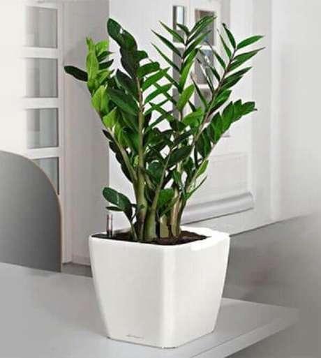 10- Uma das plantas para dentro de casa mais utilizadas são as folhagens ornamentais das zamioculcas. Fonte: Pinterest