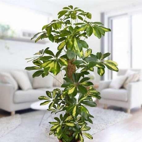 22- A cheflera é uma das plantas para dentro de casa que tolera muito bem a meia sombra. Fonte: Studio1202