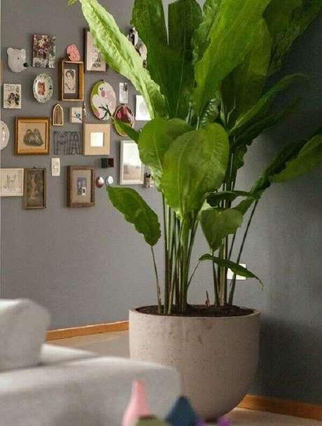 23- O ciclanto é uma das plantas para dentro de casa que possuem folhas grandes e aspecto de amassado. Fonte: Pinterest
