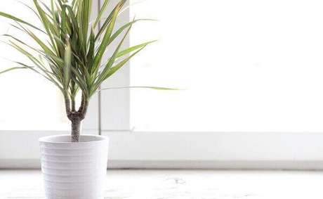 28- A dracena é uma das plantas para dentro de casa mais comuns, pois leva ao ambiente cor e um lindo apelo visual. Fonte: Dicas de Mulher