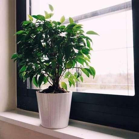 30- O fícus Benjamin é uma das plantas para dentro de casa mais populares na decoração de ambientes internos. Fonte: Carro de mola
