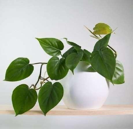 48- A filodendro cascata é uma das plantas para dentro de casa com aspecto pendente e ideais para colocar sobre estantes, prateleiras e armários. Fonte: Pinterest