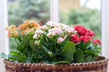 32- A suculenta flor-da-fortuna ou popularmente conhecida como Kalanchoe é uma das plantas para dentro de casa mais utilizada na decoração. Fonte: Casa Abril